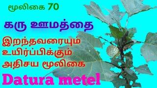 கரு ஊமத்தை மூலிகையின் மருத்துவ ரகசியங்கள்|Karuvoomathai herbal plant|Datura metel|