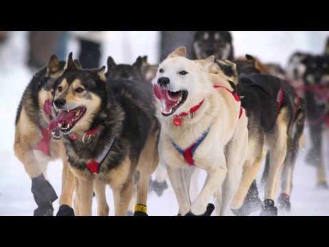 Four Legged Leaders: The Serum Run Sled Dogs
