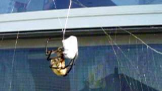 Garden spider vs giant wasp Part 1