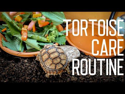 Tortoise Daily Care Routine | Feeding Time