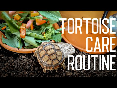 Thumbnail: Tortoise Daily Care Routine | Feeding Time
