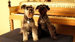 Miniature Schnauzer Dog Tricks Part 2