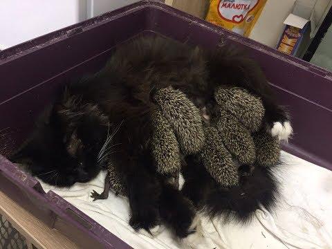 Кошка кормит ежат / The cat feeds the hedgehogs