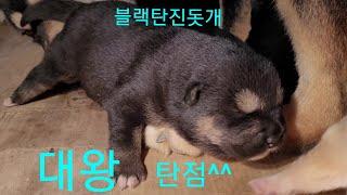 블랙탄진돗개 왕방울 탄…