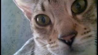 Вот это кадр! прикол про кошку, Бенгалочка ,Bengal cat is a good shot