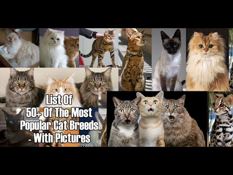 50 Cat-Breeds that Cat Lover Must Know: PART 1