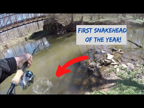 SNAKEHEAD FISH Fishing From The BANK!! Catching BIG Snakehead In Maryland! First Of The Year! How To