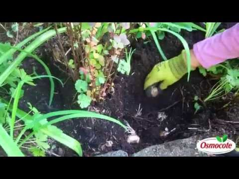 How To Grow Saffron From Crocus Sativus Bulbs