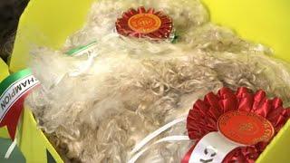Cystadleuaeth y Cnu | Fleece Competition