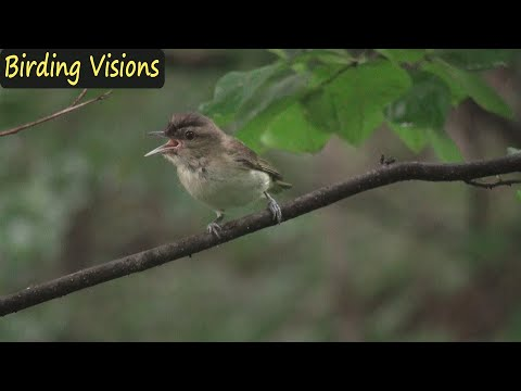 Inner life of Red-eyed Vireo - Songbirds of Pennsylvania