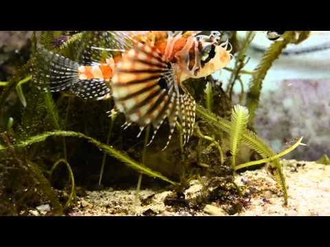 Feeding Zebra Lionfish Frozen Food