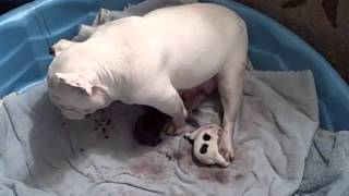 Piggy Free-Whelping Her Puppies