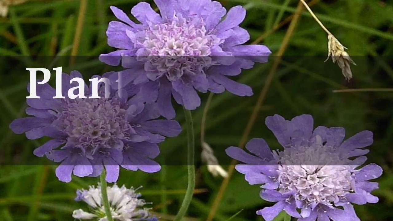 How To Grow Scabiosa Pincushion Flower At Home Youtube