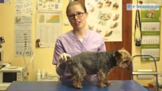 Porady weterynarza - problem z gruczołami okołoodbytowymi u psa
