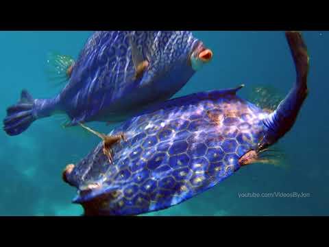 Honeycomb Cowfish Mating Dance