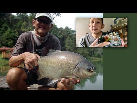 Incredible Big Pacu Run + Pacu Fishing Flies