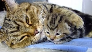 Video Mama Cat Playing With Cute Kittens Compilation 2018 download MP3, 3GP, MP4, WEBM, AVI, FLV Juli 2018