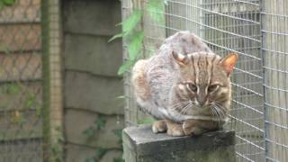 Rusty-spotted Cat, Axe Valley Wildlife Park (29th August 2016)