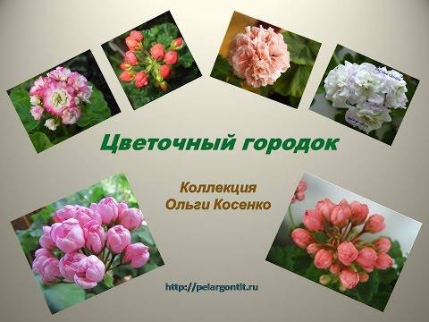 Красавица пеларгония-украшение вашей клумбы Герань в саду