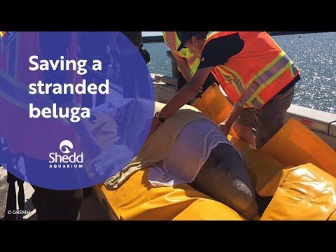 Saving a Stranded Beluga