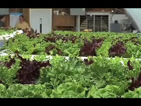 Hydroponic Lettuce Farm In Georgia