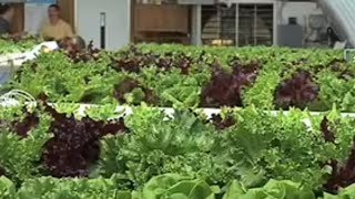 Hydroponic Lettuce Farm In Georgia