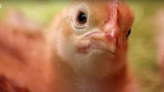 What Can Chickens Tell Us About Human Diseases? | Earth Lab