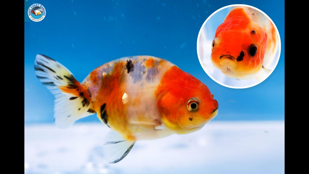 Images of Baby Ranchu Goldfish For Sale - #rock-cafe