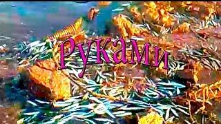 Рыбалка голыми руками на о.  Русский/бухта Новик.(Возвращались после осмотра мордушек на креветку и увидели такую картину. Набрали сколько смогли. Просто..., 2016-05-20T10:42:13.000Z)