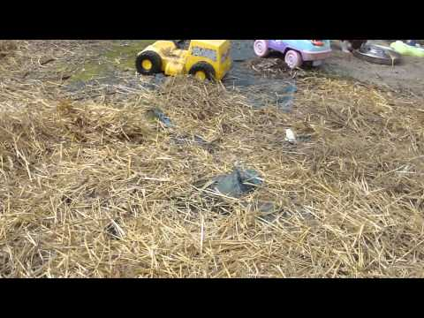 "IndigoMoon Aussies, ""The Precious Metals Litter""; Playland Park March 3, 212"