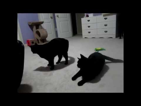 Black Cat High Jumping and Backflips - Twin Black Cats