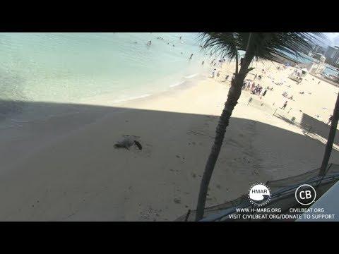 Hawaiian Monk Seal Pup Cam Day 12 Part 3 Kaimana Beach