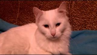 Найдена белая кошка на ул. Кустодиева