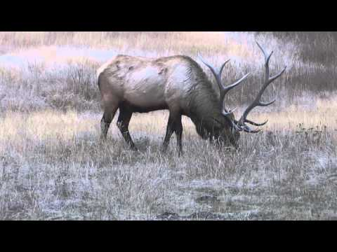 Elk (alce) no Yellowstone National Park