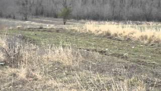 Русская гончая гонит зайца русака