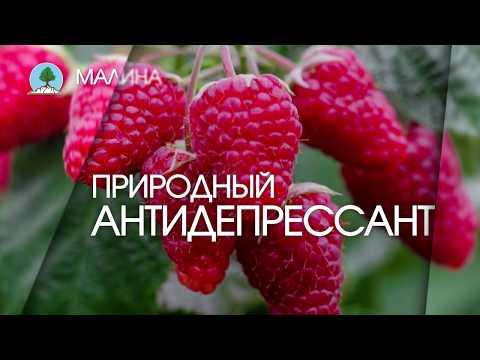 """МАЛИНА. Питомник """"Сады"""