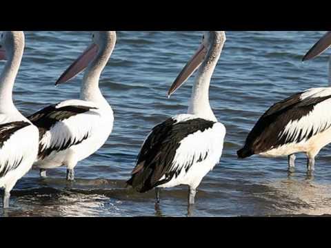 Pop | Pop Music | Scenery Panoramic Vivid Pelicans