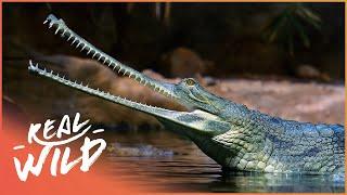 Crocodile Blues [Romulus Whitaker Documentary]   Wild Things