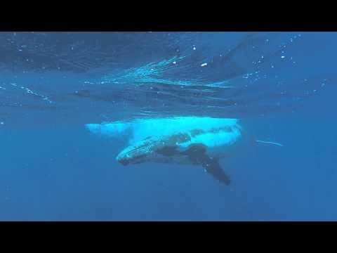 Juvenile Male Humpback Whale in Tonga
