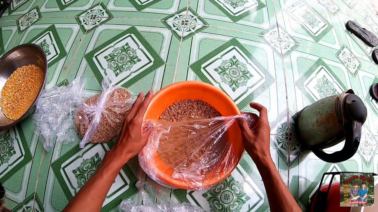 Hướng dẫn ủ ngô ngọc và thóc mầm làm mồi câu cá trôi chép | Hoàng Minh
