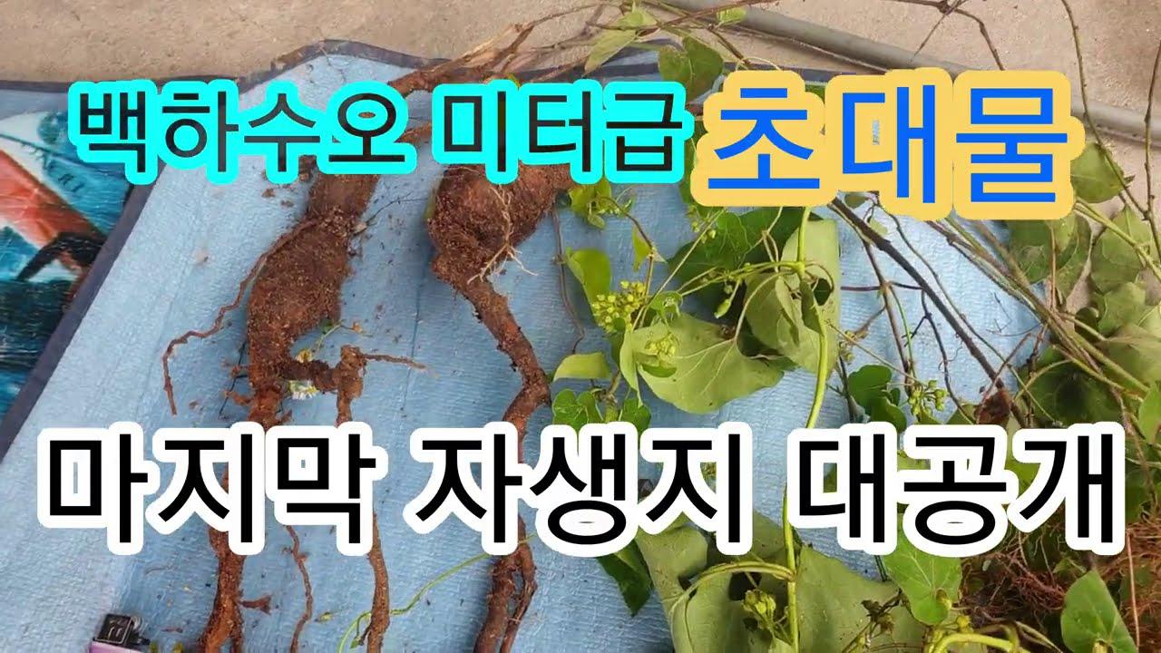 백하수오 미터급초대물 마지막 자생지 대공개