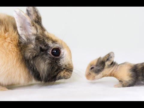Кролики беременность