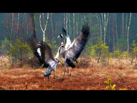 FIGHT AND DANCE-BIRDS Dancing Cranes in Springtime! (Worth Watching!)