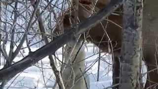 Западно-Сибирская Лайка валит изюбря