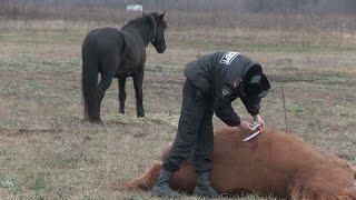 видео У селі на Волині вбили коней. Підозрюють місцевого фермера