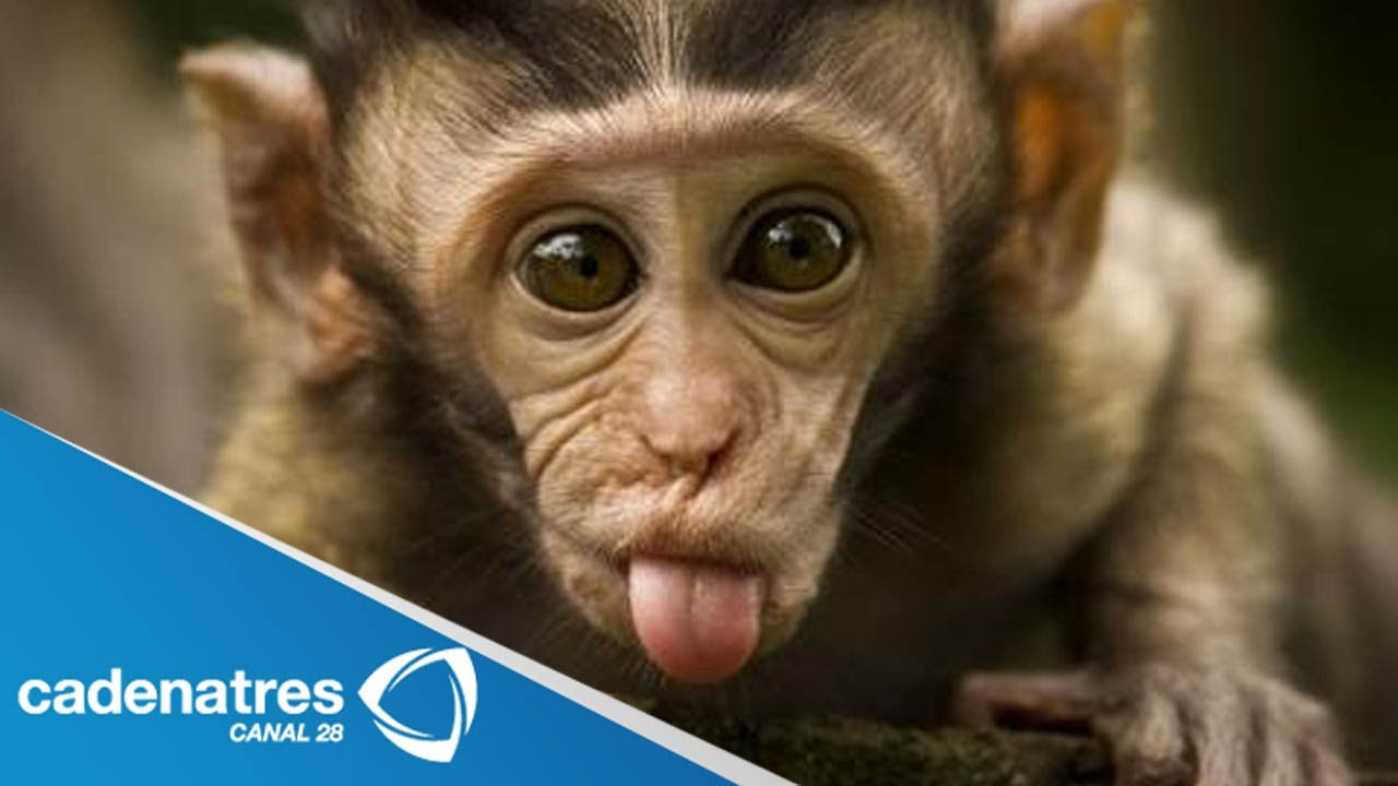 Salvan La Vida De Mono Bebé Al Alimentarlo Con Leche Materna Humana
