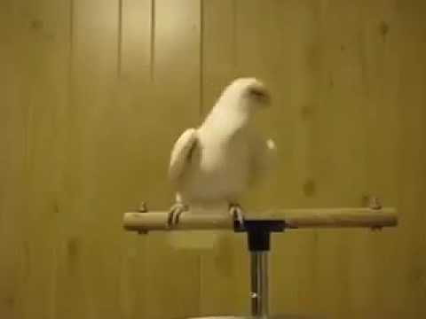 Parrot Dancing to Islamic tunes!!!! 😂
