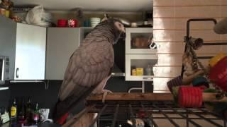 Говорящий попугай Жако Гоша