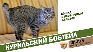 TEST.TV: Курильский бобтэйл кошка с необычным хвостом.