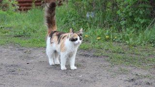 Зверек  Кошка которая  гуляет сама по себе